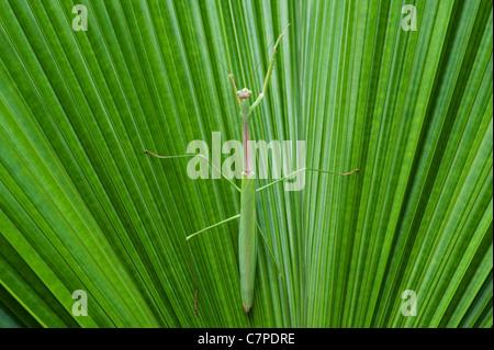 Gottesanbeterin auf einem Palmwedel in Indien - Stockfoto