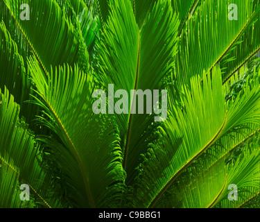 FAUNA: Palmblätter (Detail) - Stockfoto
