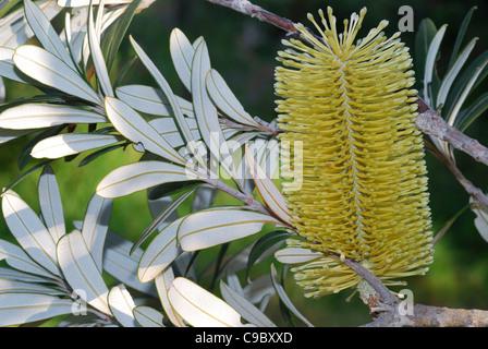 """Silber Banksia Banksia Marginata Blumen- und """"silver""""-Unterseite - Stockfoto"""