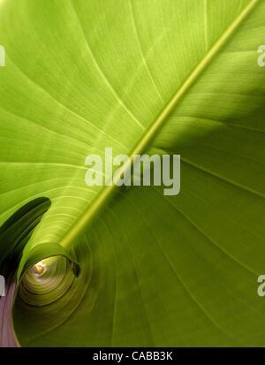 3. Juni 2004; Los Angeles, Kalifornien, USA; Bananenpflanze. - Stockfoto