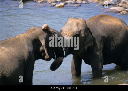 Zwei asiatische Elefanten männlichen kämpfen (Elephas Maximus) auf Maha Oya Fluss, Waisenhaus Pinnawela, Sabaragamuwa - Stockfoto