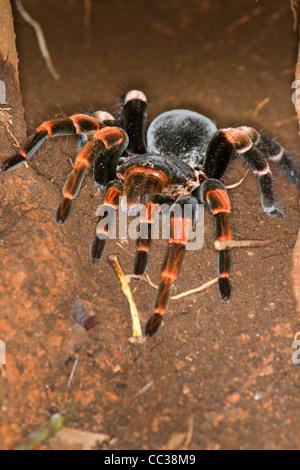 Weibliche Orange-Knie oder mexikanischen roten Knien Vogelspinne (Brachypelma Smithi) in ihren unterirdischen Höhle. - Stockfoto