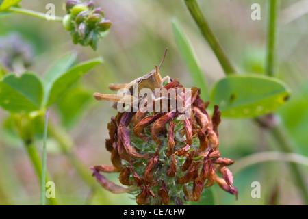 Heuschrecke thront auf einem Toten Blume closeup - Stockfoto