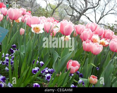 Rosa Tulpen in einem Bett von Usambaraveilchen und weisse Tulpen - Stockfoto