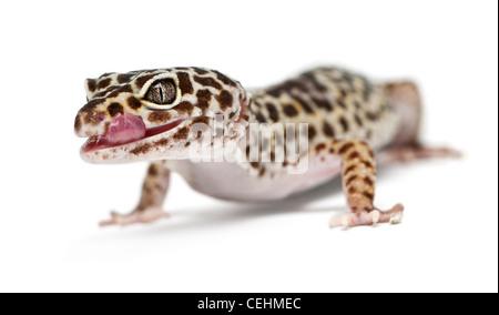 Leopardgecko, Eublepharis Macularius, vor weißem Hintergrund - Stockfoto