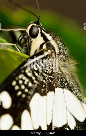 Ein Kalk-Schwalbenschwanz-Schmetterling genommen in Kuala Lumpur, Malaysia - Stockfoto