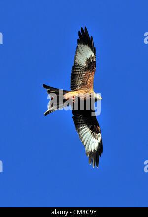 Wie im Vereinigten Königreich, mit blauem Himmel und plötzliche Kälte Winteranfang besucht ein wild Rotmilan eine - Stockfoto