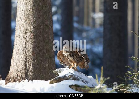 Eurasische Adler-Eule Bubo Bubo europäischen fliegen im verschneiten Wald Landschaft - Stockfoto