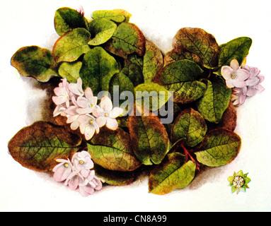 Zuerst veröffentlicht 1915 Mayflower Trailing Arbutus Epigaea repens - Stockfoto