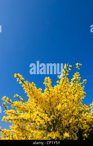 Ginster blüht, vor einem strahlend blauen Himmel. - Stockfoto