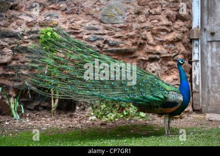 Ein Pfau zeigt seine Federn in einem ummauerten Garten UK - Stockfoto