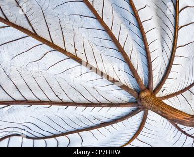 Unterseite des großen Blattes eine Jackfrucht Baum zeigt Regenschirm wie Stamm und Venen und silbernen Unterseite - Stockfoto