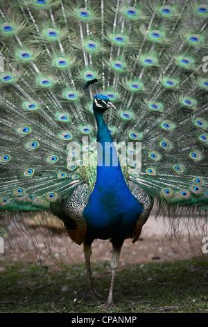 Ein Pfau seine Federn UK anzeigen - Stockfoto