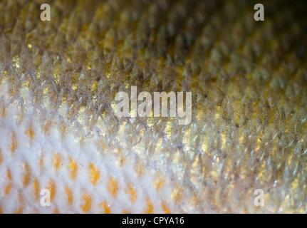 Haut und Schuppen ein 1,1 kg Süßwasser Barsche (Percha Fluviatilis) - Stockfoto
