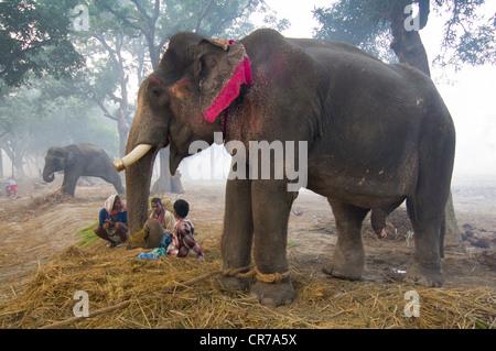 Elefanten zu verkaufen, mit Mahouts im Haathi Basar, Sonepur Mela, Sonepur, Bihar, Indien - Stockfoto