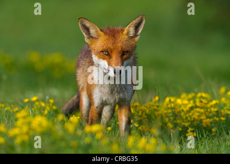 Rotfuchs (Vulpes Vulpes), Wiese, nach einem Regenschauer, Süd-Ost-England, Vereinigtes Königreich, Europa - Stockfoto
