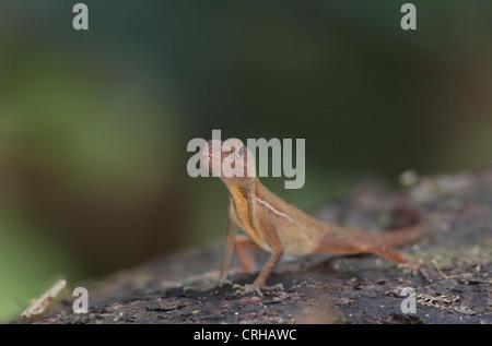 Gemeinen Anole Eidechse im Regenwald, Corcovado Nationalpark, Osa Halbinsel, Costa Rica - Stockfoto