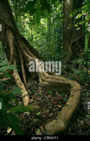 Wurzeln im Regenwald zu stützen. Corcovado Nationalpark, Osa Halbinsel, Costa Rica. März 2012. - Stockfoto