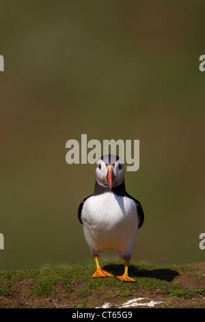Papageitaucher hoch- und Querformat - Stockfoto
