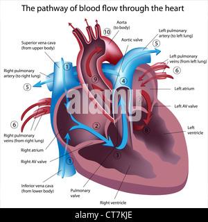 Weg der Blutfluss durch das Herz - Stockfoto