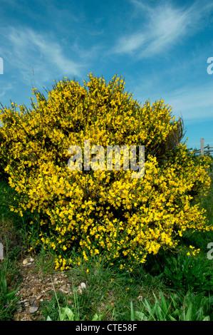 Ginster Cytisus Scoparius (Fabaceae) - Stockfoto