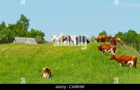 Herde der Kühe auf der Wiese - Stockfoto