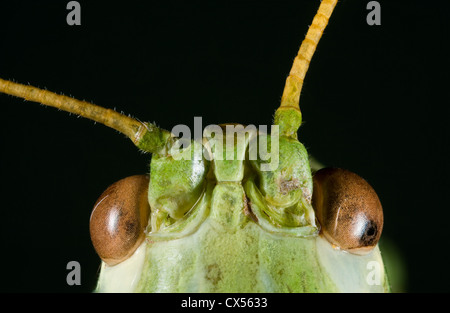 Extreme Makro-Shooting der Green Bush Cricket Head - Stockfoto