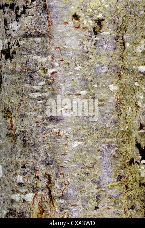 Schlehe Prunus Spinosa Rosengewächse - Stockfoto