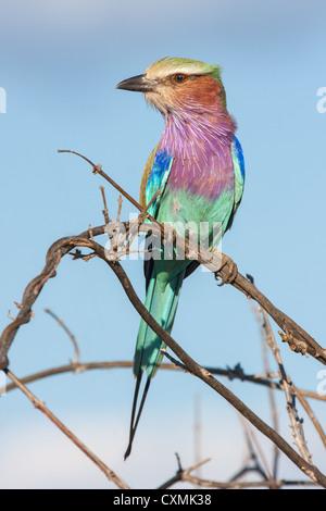 Nahaufnahme von einem Lilac-breasted Roller (Coracias Caudatus) thront auf einem Zweig, Okavangodelta, Botswana - Stockfoto