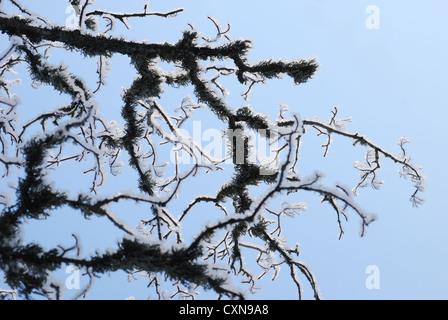 Zweige im Winter mit frostigen Schnee bedeckt. - Stockfoto