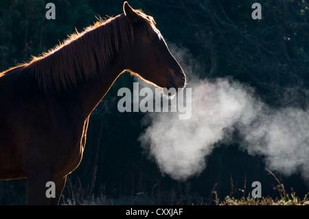 Pferd, Kondensation von Atem, Südafrika, Afrika - Stockfoto