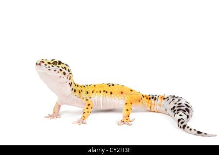 Leopardgecko auf weißem Hintergrund. - Stockfoto