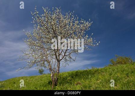 Mehlbeere (Sorbus Aria) im Blatt, Picos de Europa, Spanien, Europa - Stockfoto