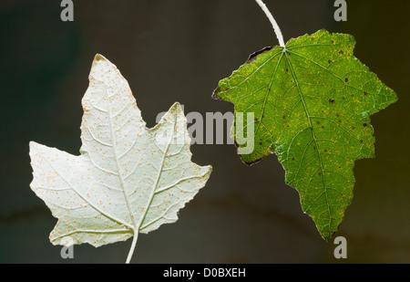 Silberpappel (Populus Alba) Blätter, Unterseite und obere Seite, close-up - Stockfoto