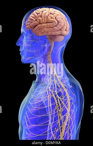 Anatomisches Modell zeigt die Verbindungen zwischen menschlichen Gehirn und dem Rest des Nervensystems. - Stockfoto