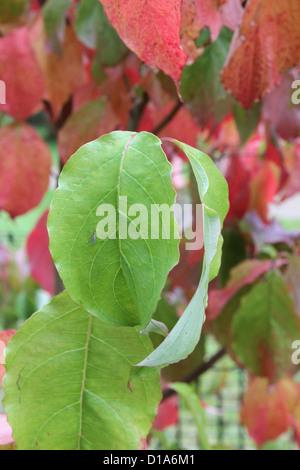 Cornus Florida (Blüte Hartriegel) im Herbst - Stockfoto