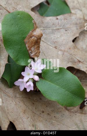 Trailing Arbutus, Epigaea Repens (auch bekannt als Mayflower) - Stockfoto
