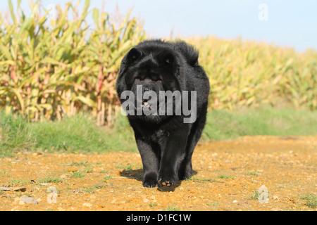 Dog Chow Chow-chow China schwarz Gesicht Stand stehende Erwachsene Erwachsene Hunde Löwen Feld Spaziergang laufen, - Stockfoto
