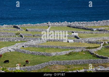 Krumme Muster der Steinmauern Einzäunung einzelne Felder in Irland, wo Rinder grasen zufrieden durch das Wasser - Stockfoto