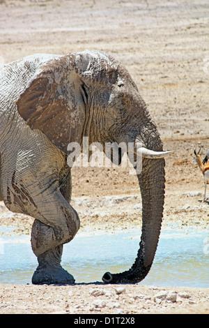 Ein großer Elefantenbulle an einer Wasserstelle in Etosha Nationalpark, Namibia - Stockfoto