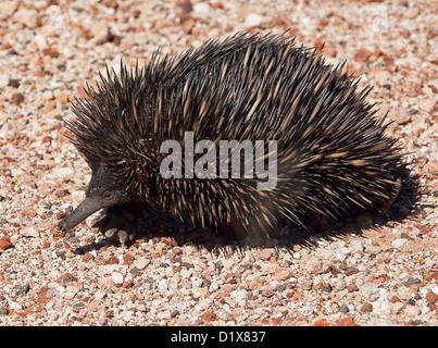 Australischen Ameisenigel - stachelige Ameisenbär - auf Schotterstraße im Outback Queensland - Stockfoto