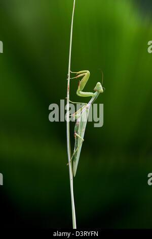 Gottesanbeterin auf eine Pflanze, um Stammzellen vor einer Palme Wedel in Indien - Stockfoto