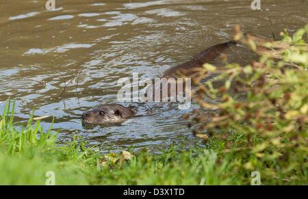 Ein Otter schwimmen gegenüber der bank - Stockfoto
