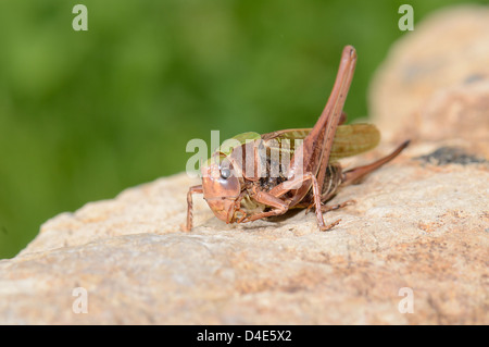 Eine Nahaufnahme des Grasshopper - Stockfoto