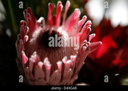 Das Protea Rosa Eis Blume - Stockfoto