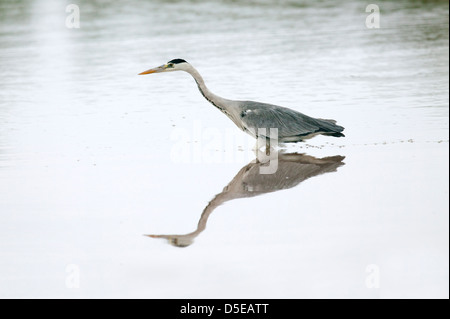 Grey Heron Ardea Cinerea mit einer symmetrischen Spiegelung am Angeln Reise Knie im Fluss - Stockfoto