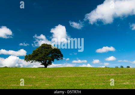 Ein einsamer Baum im Bereich Weide Set gegen einen blauen Himmel und flauschige weiße Wolken in der Nähe von Stoke - Stockfoto