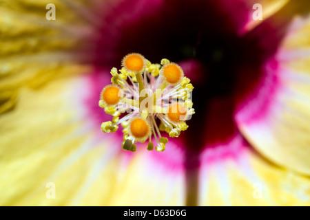 Gelb und Pink Hibiscus - Stockfoto