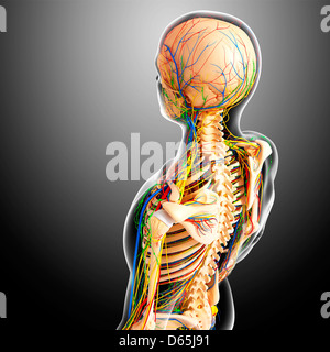 Oberkörper-Anatomie, artwork - Stockfoto