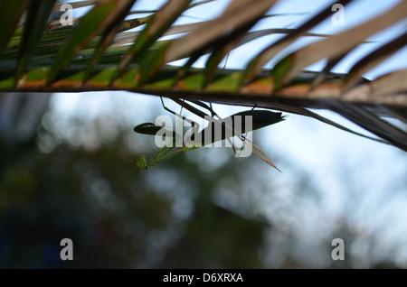 Hier wurden eine Gottesanbeterinnen Nonne auf ein Blatt der Palme. - Stockfoto